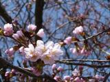 Sakura100510