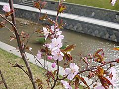 Sakura120501